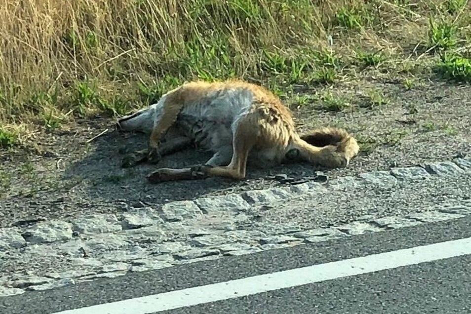Der Schwanz, die Haltung der Hinterläufe und Fellfarbe – ein totes Känguru am Straßenrand bei Brischko? Doch die Wahrheit ist viel profaner.