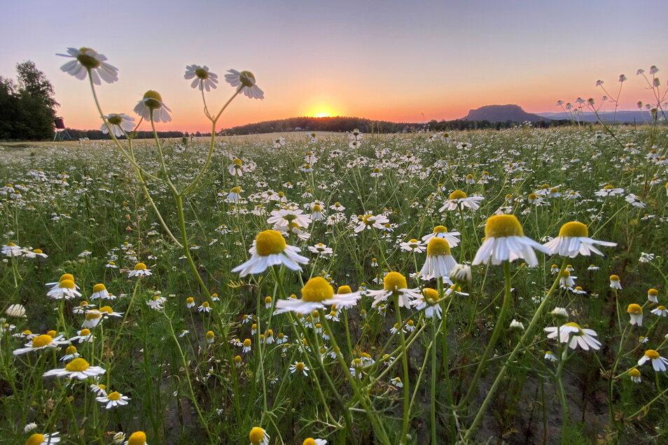 Die Kamillenblüten am Muselweg in Gohrisch, die sich dem Sonnenuntergang entgegen recken, gehören zwar nicht zu den Preisträgern, das Motiv von Enrico Blechschmidt aus Gohrisch ist aber dennoch sehenswert.