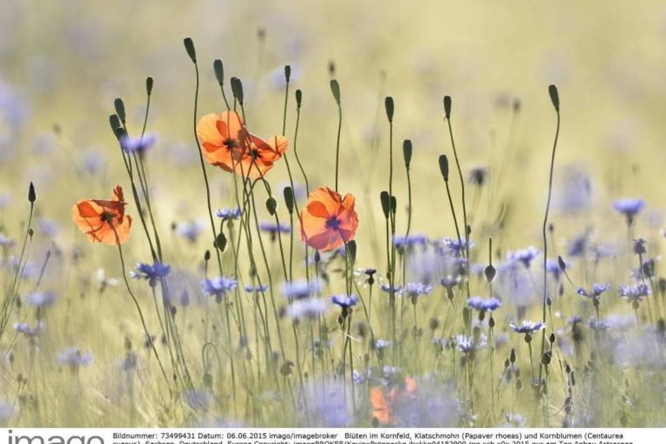 Eine Wiese, wie Insekten sie lieben: Wenn nicht zu häufig gemäht wird, haben wächst nicht nur Gras, sondern auch Wildblumen, die den Tieren Nahrung bieten.