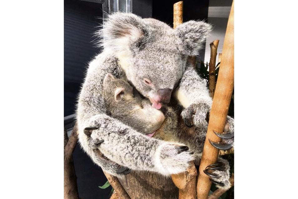 Koala-Weibchen Mandie mit ihren noch namenlosen Jungtier.