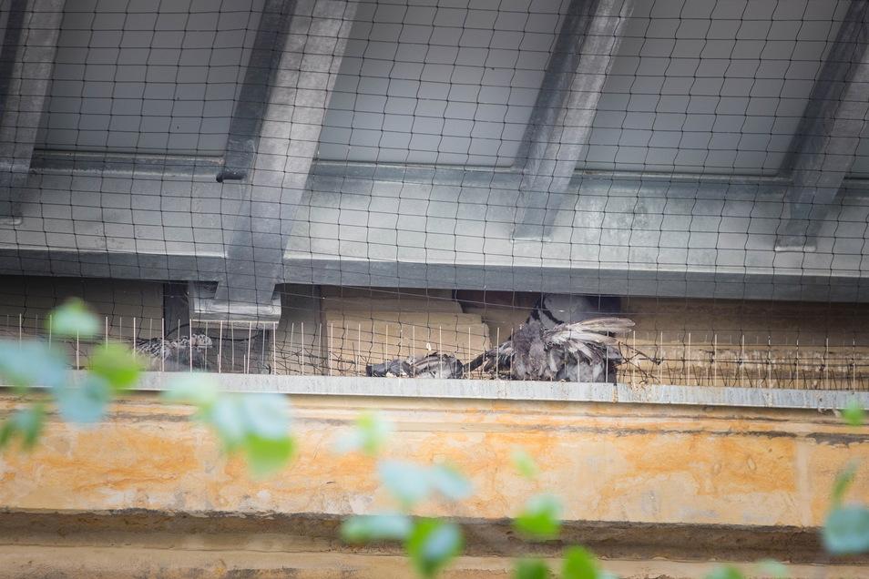 Ein weiteres Foto zeigt verendete Tauben, die sich nicht aus den Netzen befreien konnten.