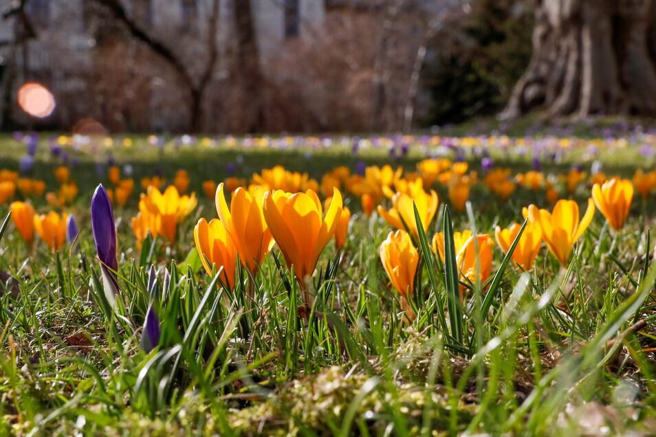 In lila und gelb blühen die Krokusse um die uralte Platane.