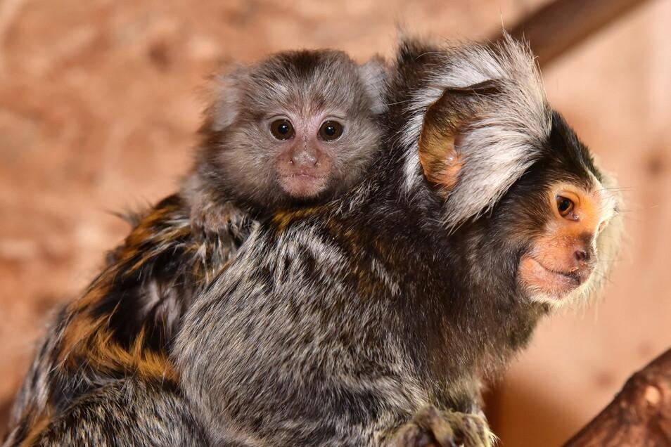 Nicht nur Weißbüscheläffchen lassen sich auf dem Rücken von Papa durch das Gehege tragen . Auf der anderen Seite der Scheibe dürften Papas zum Familienausflug ähnlich bepackt sein.