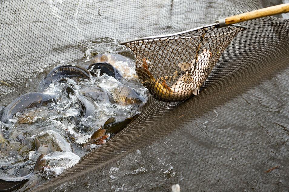 Ein guter Fang: Noch ist die Teichwirtschaft mit dem Abfischen der von ihnen bewirtschafteten Gewässern zwischen Rammenau, Zschorna, Naundorf bei Meißen und Zittau beschäftigt.