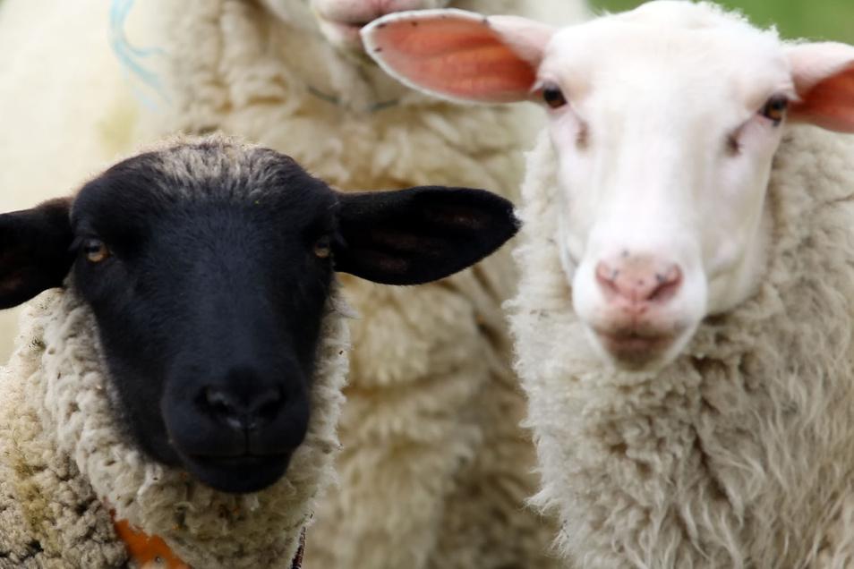 Wer ersteigert eine komplette Schafherde? Das Landratsamt sucht dringen neue Besitzer für  151 Tiere.