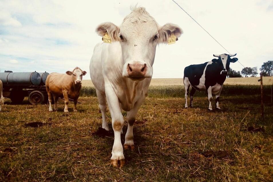 Die geretteten Rinder leben heute glücklich auf einer Weide bei Döbeln.