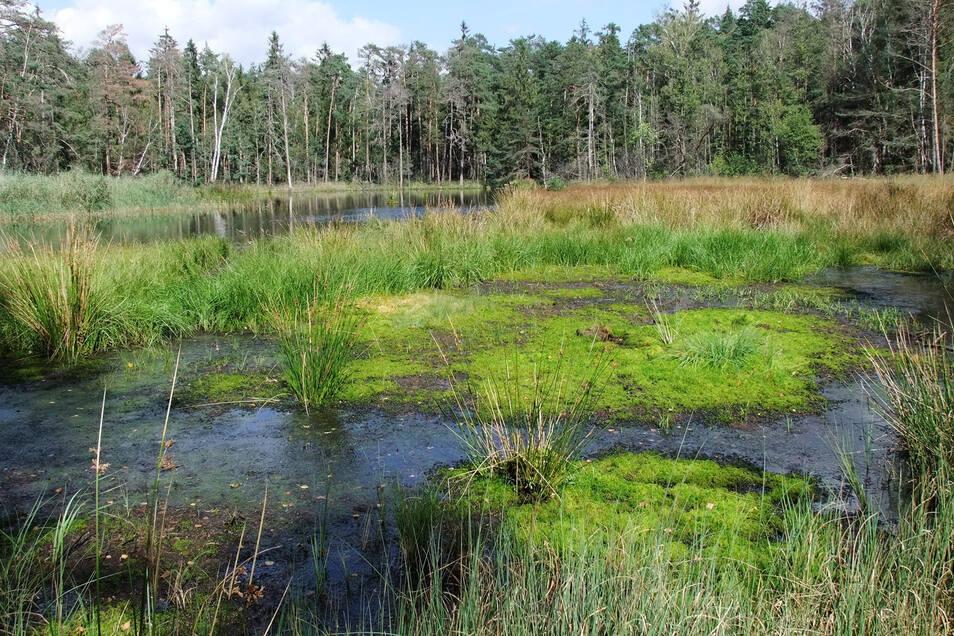 Werden die neuen Kiesabbaupläne umgesetzt, befürchten Naturschützer auch für das streng geschützte Waldmoor bei Großdittmannsdorf irreparable Schäden.