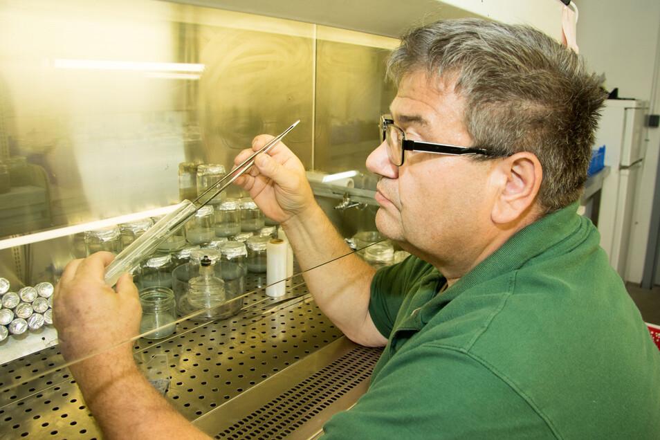 In einer zweiten Stufe setzt Steffen Keller das Saatgut in größere Gläser mit anderen Nährböden um.