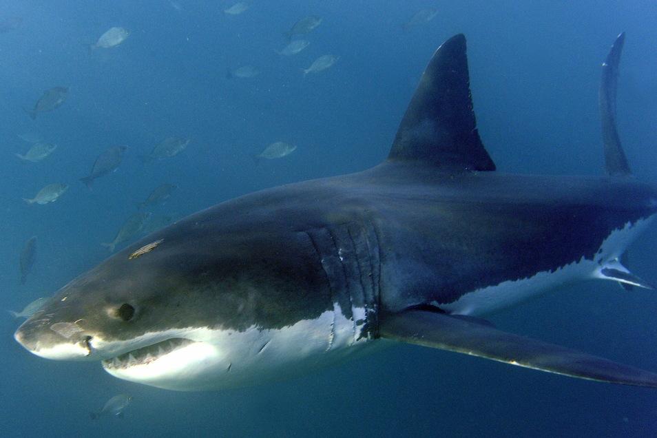 Ein großer Weißer Hai, aufgenommen im Indischen Ozean vor Gansbaai. Die Zahl der Haie und Rochen in den Weltmeeren ist in den vergangenen 50 Jahren um mehr als 70 Prozent gesunken.