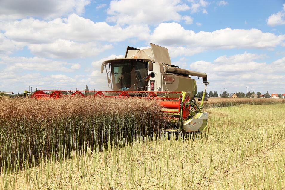 Ein Mähdrescher erntet ein Rapsfeld bei Glaubitz. Zum zweiten Mal in Folge fiel die Ernte in der Region dürftig aus. Schuld war in erster Linie die Trockenheit.