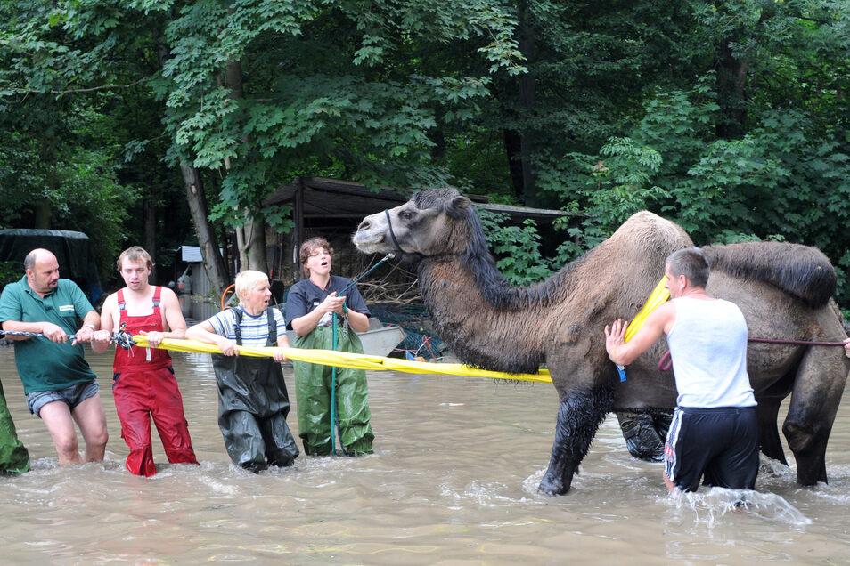 Mitarbeiter und Helfer müssen das geschwächte und verstörte Kamel Mustafa im Zittauer Tierpark mit vereinten Kräften retten.
