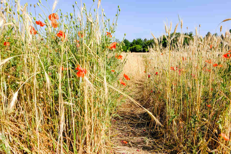 Breite Trampelpfade ziehen sich durch das Mohnblumenfeld in Radebeul.