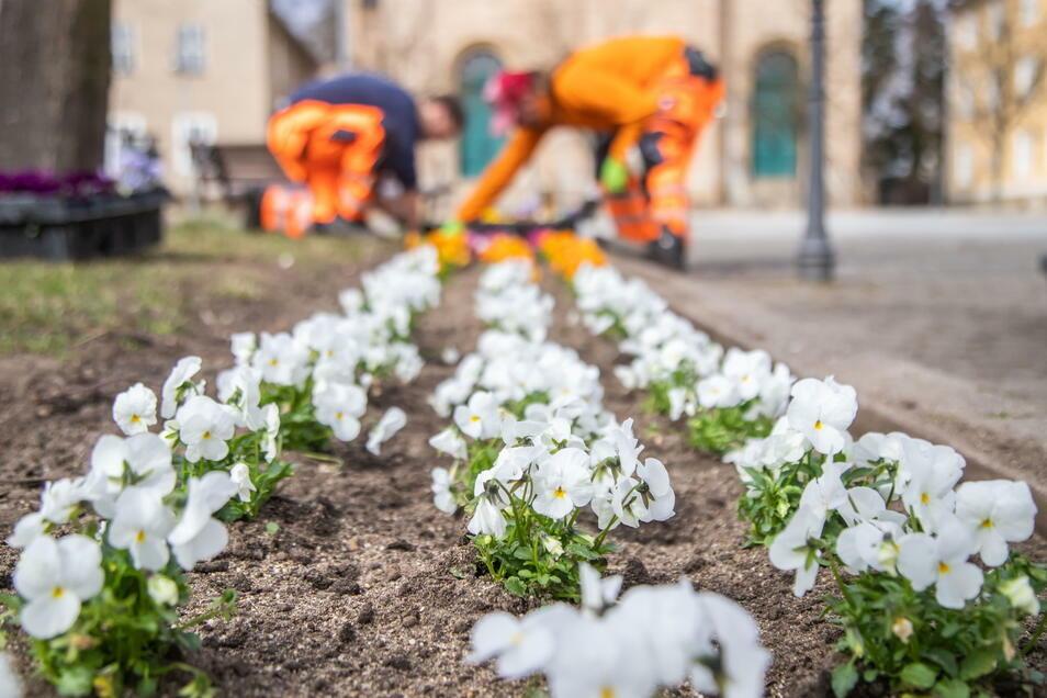 So schön, wie derzeit auf dem Zinzendorfplatz, soll es auch auf der Görlitzer Straße blühen. Dafür werden jetzt Blumenzwiebeln gesammelt.