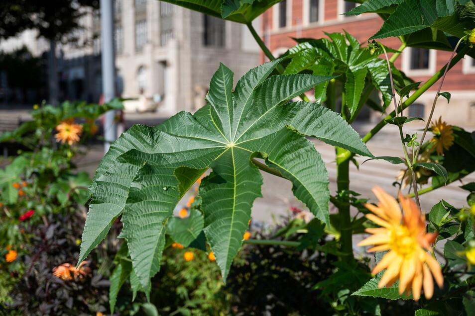 Jetzt, Ende August, überragt der Rizinus die anderen Pflanzen im Blumenbeet. Dahlien (rechts) bilden einen farblichen Kontrast. Blüten und Samenstände vom Rizinus werden von den Stadtgärtnern entfernt.