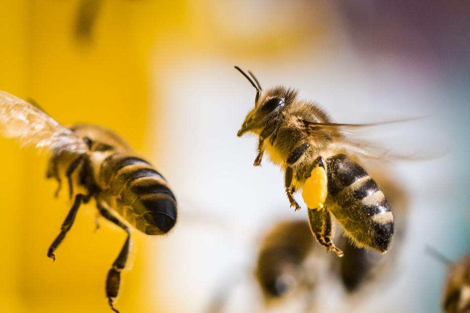 Bei einem Bienenvolk in Hellerau ist die Amerikanische Faulbrut ausgebrochen.