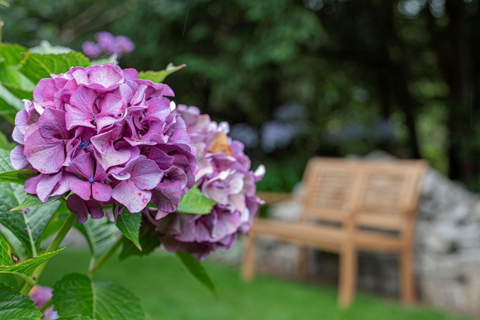 Der Garten blüht es das ganze Jahr über. Alte Hortensiensorten sind aktuell der Hingucker.