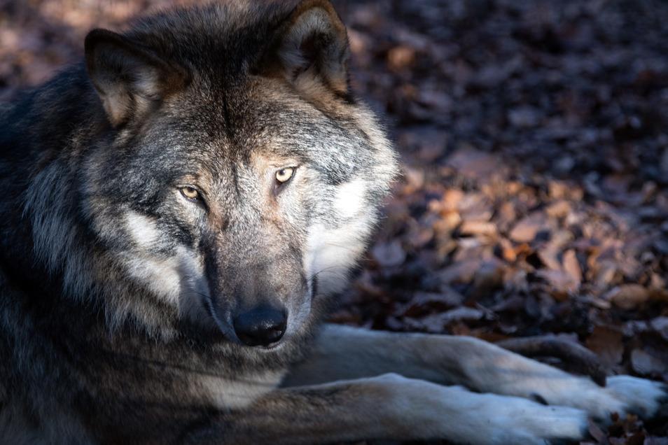 Erneut sind in Dresden Schafe vom Wolf gerissen wurden.