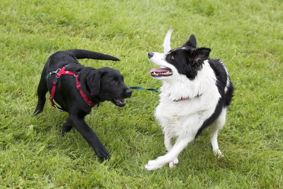 In Norwegen sind bislang mehr als 25 Hunde an den Folgen einer mysteriösen Darminfektion gestorben. Alle Tiere litten recht plötzlich an Erbrechen und blutigem Durchfall.