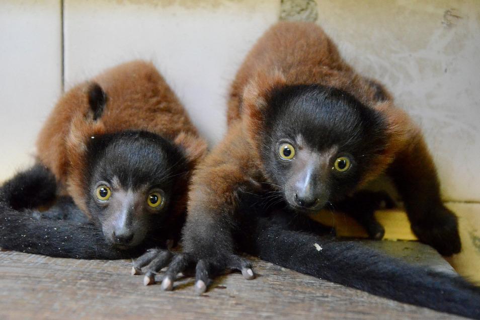 Die Roten Vari bekamen zum ersten Mal Junge, und dann gleich Zwillinge.