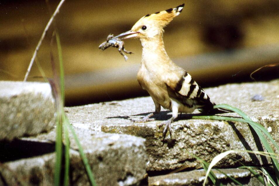 Ein Wiedehopf mit einer Unke im Maul auf dem Weg zum Nest, wo hungrige Junge auf eine Mahlzeit warten.