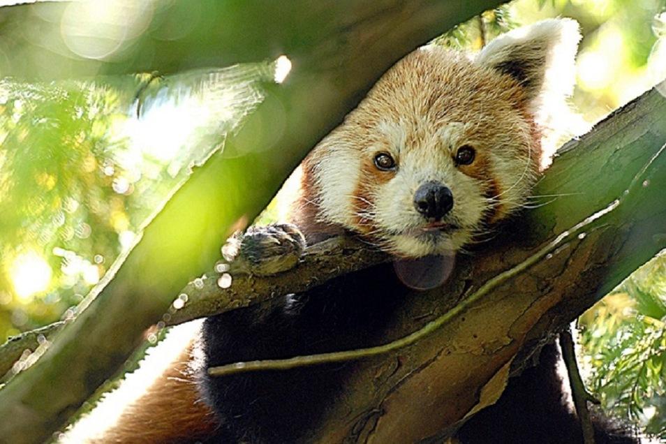 Der Panda wartet im Naturschutz-Tierpark Görlitz.