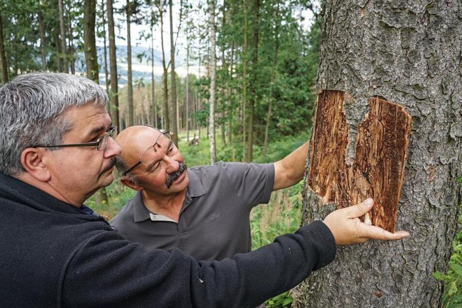 Der Waldschutzexperte des Landkreises, Thomas Sobczyk (links), und Bautzens Revierförster Rüdiger Reitz untersuchten im Sommer einen vom Borkenkäfer befallenen Baum. (Archivbild)