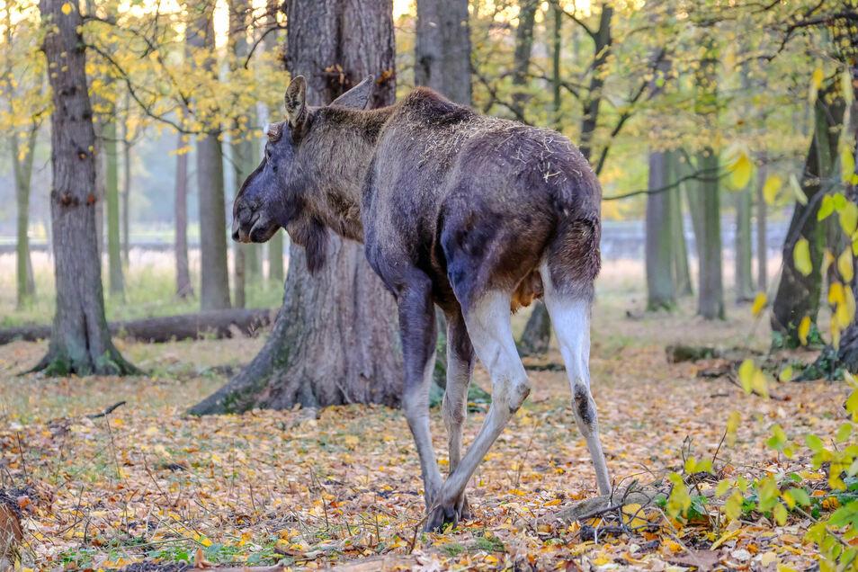 Der junge Elch-Bulle hat sich schon ein bisschen in seinem neuen Zuhause im Wildgehege Moritzburg eingelebt. Nur Gesellschaft hat Oskar noch keine.