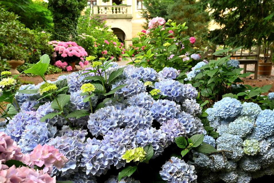 Im Park blüht während der Ausstellung eine stattliche Anzahl von Hortensien in Töpfen.
