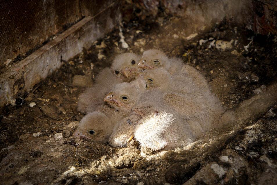 Wie ein kleines Wollknäuel - die fünf Falken sind vor wenigen Tagen geschlüpft. Sie schmiegen sich eng aneinander.