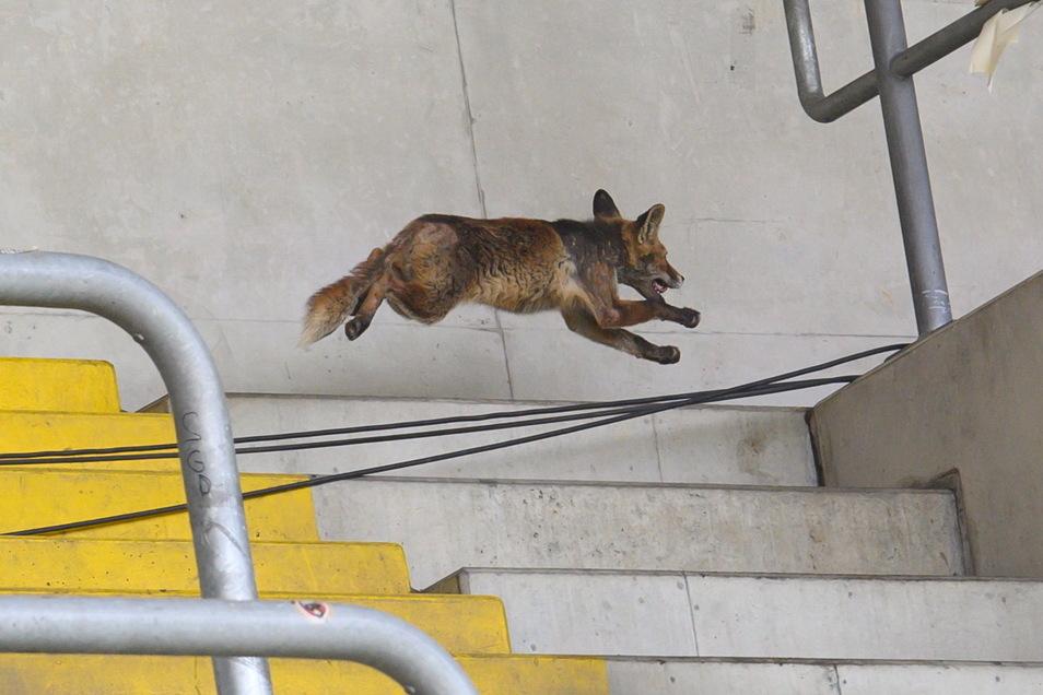Vor rund einem Monat flitzte .ein Rotfuchs durch das Rudolf-Harbig-Stadion vor einem Dynamo-Spiel durch die Zuschauerränge.