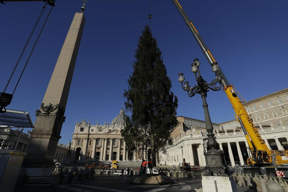 Ein Kran richtet die 28 Meter hohe Tanne auf dem Petersplatz im Vatikan auf.