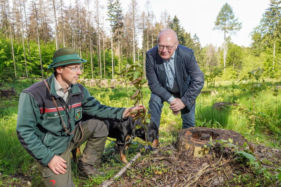 Im Eichbusch in Obercunewalde begutachten Revierförster Enrico Mähl (l.) und Cunewaldes Bürgermeister Thomas Martolock einen jungen Bergahorn. Tausende von jungen Bäumen hat die Gemeinde im Kommunalwald bereits pflanzen lassen.
