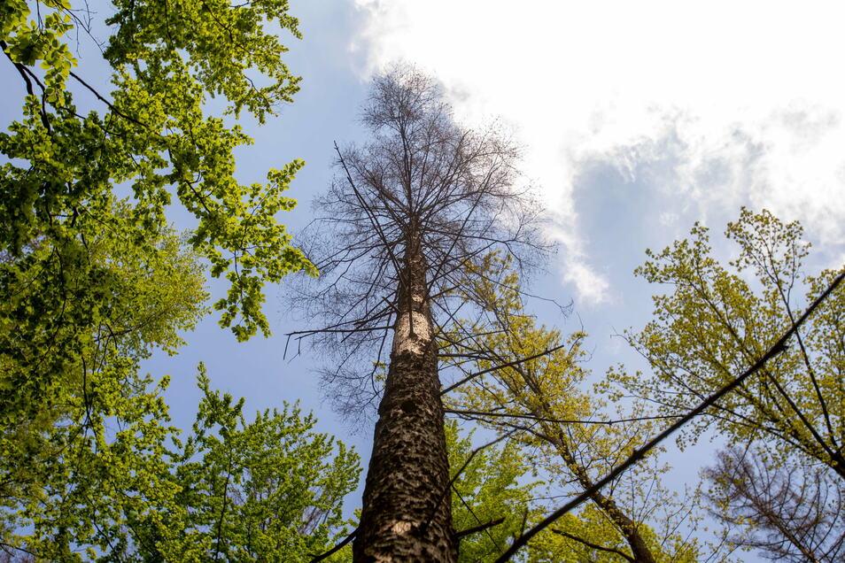 Vom Borkenkäfer befallene und bereits abgestorbene Fichte: Fachleute beseitigen derzeit das Schadholz im Graupaer Tännicht.