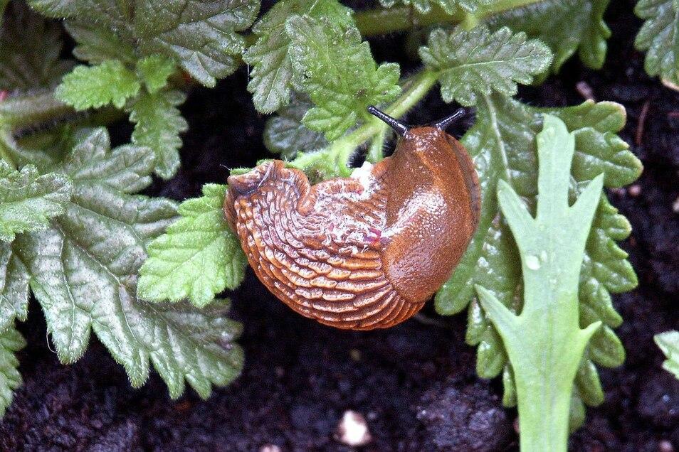 Die Nacktschnecken fressen sich schamlos durch unsere Gärten: Erfahrene Gartenfreunde streuen jetzt Schneckenkorn aus und legen wo immer möglich Schneckenzäune zum Schutz der Pflanzen an.