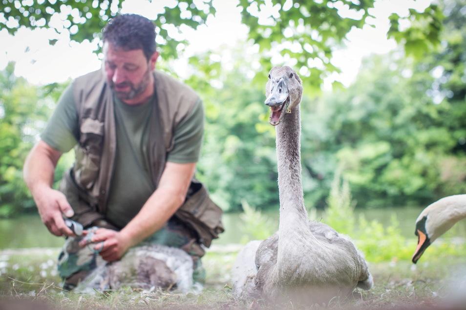 Thomas Eißer kümmert sich seit Jahren um die jungen Schwäne in Dresden und beringt sie. Jetzt war er im Großen Garten im Einsatz.