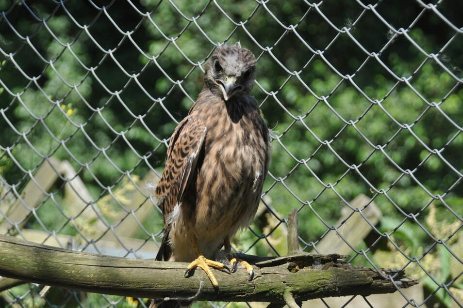 In der Auffangstation des Tierparks werden die jungen Falken nun ein paar Tage betreut, ehe es wieder zurück in Freiheit geht.