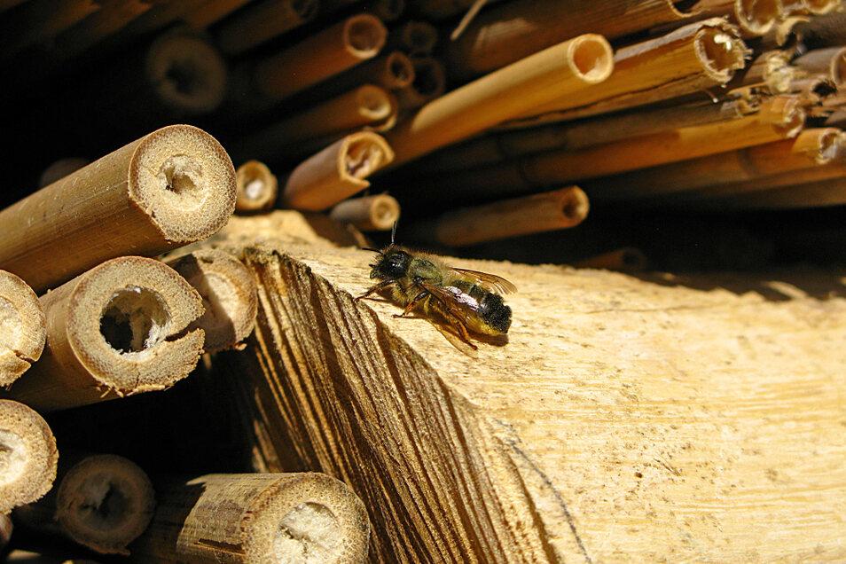 Die Mauerbiene macht sich eines der vielen Bambusröhrchen zunutze, die Zoopädagogin Silke Kühne im neuen Insektenhotel drapiert hat. Auch viele andere Materialien sollen allerhand Insekten anziehen.
