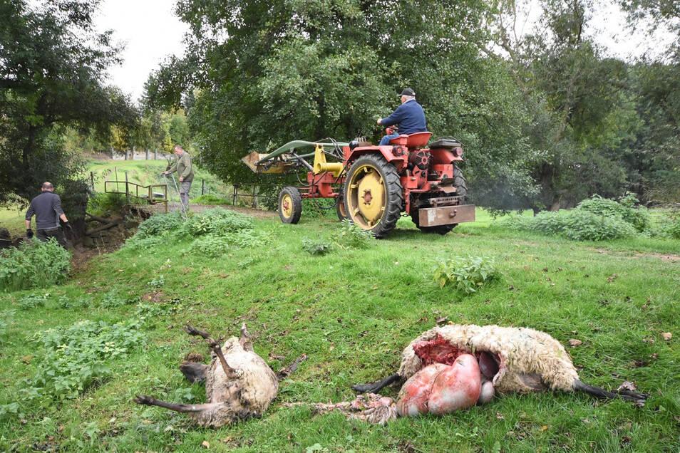 Bauer Erhardt Hotho hat am Freitagvormittag 17 tote Schafe vorgefunden, die er hier mit dem Traktor nach und nach abtransportiert.
