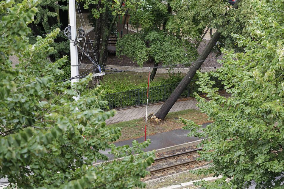 Dieser umgeknickte Baum an der Biesnitzer Straße in Höhe des August-Bebel-Platzes ist das Ergebnis des Sturms in der Nacht zum Montag.
