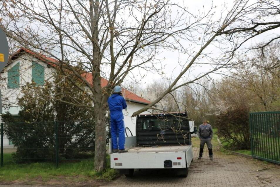 Die Bauarbeiter schnitten einen etwa zehn Meter langen Ast von der Rosskastanie ab.