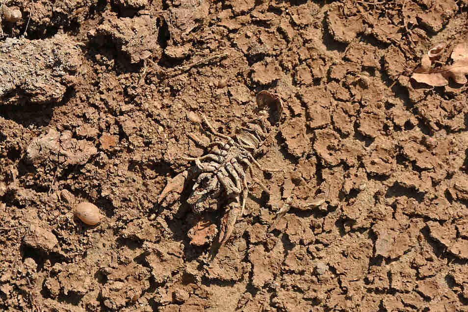 Opfer der Trockenheit: Dieser Flusskrebs wurde über 10 cm lang.