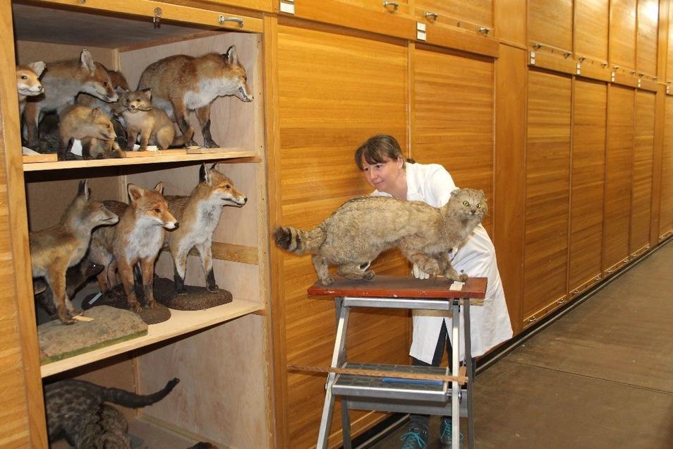 Museumspräparatorin Diana Jeschke mit ihrem besonderen Fund: einer Wildkatze aus den Königshainer Bergen