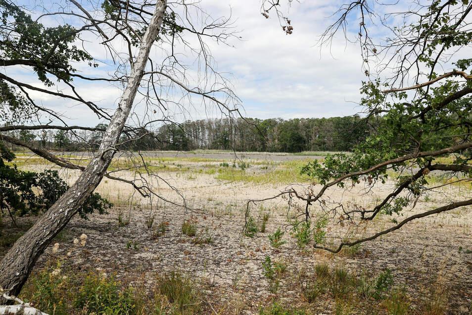 Eine vertrocknete Birke steht am Ufer des ausgetrockneten Königsteichs der Bennewitzer Teichgruppe.