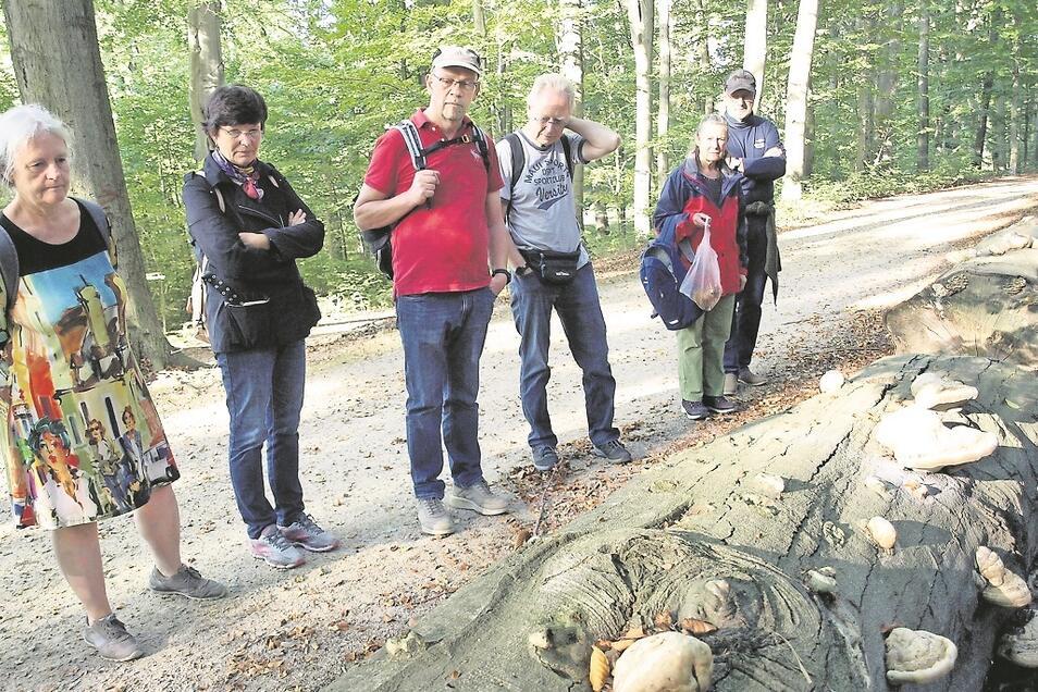 An vielen Stellen im Park liegen vom Zunderschwamm befallene, kranke und aus Sicherheitsgründen gefällte Großbäume. Einige davon sahen die Wanderer. Dabei erfuhren sie nicht nur von der Schädlichkeit des Schwamms, sondern auch von Nutzungsarten.