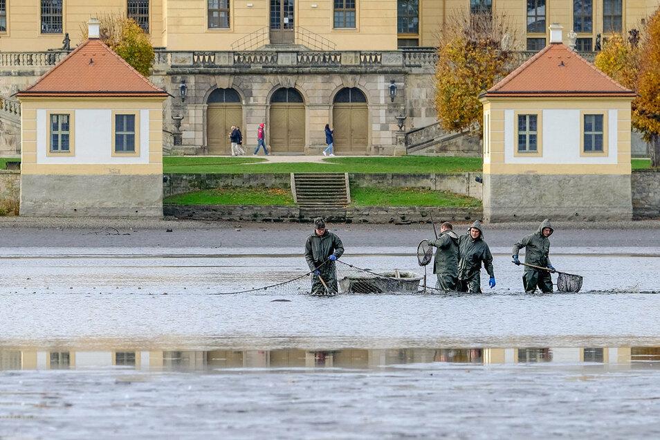 Abfischen am Moritzburger Schlossteich: Am Mittwoch holten Mitarbeiter der Teichwirtschaft Moritzburg mit Boot und Kescher im östlichen Teil des Teiches die Fische heraus. Ein ungewohntes Bild, passiert das doch nur alle vier, fünf Jahre.