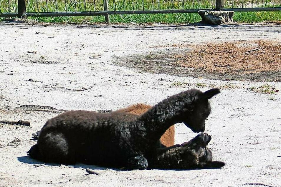Die Alpakas im Tierpark Weißwasser müssen erst einmal ohne Besucher auskommen.