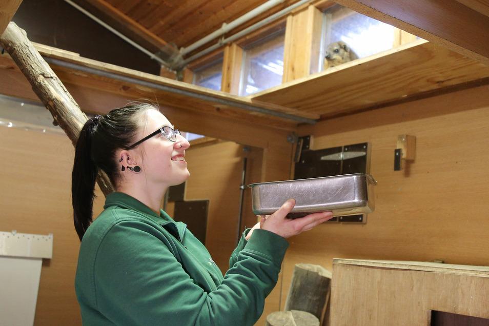 Die scheuen Klippschliefer halten immer Abstand – sogar, wenn Tierpflegerin Jacqueline Mögel das Essen bringt.