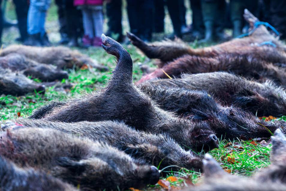 Treibjagden wie hier in Mecklenburg-Vorpommern halten die Jäger im Kreis Görlitz für notwendig gegen die Schweinepest. © Symbolbild/Jens Büttner/dpa