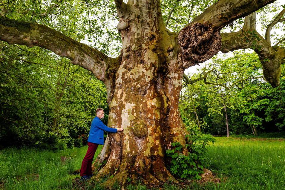 Nein, das ist keine Wohlfühlaktion eines Waldmenschen. Es ist die Vermessung einer wohl 260 Jahre alten Platane. Andreas Roloff ist im Park Siebeneichen in Meißen zu Messungen unterwegs.