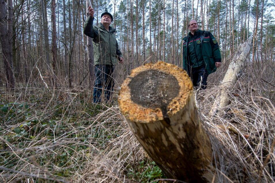 Waldbesitzer vor kahlen Kiefern: Werner Puppe (links) und Sachsens Landesforstpräsident Utz Hempfling wissen, dass Käferholz rasch aus dem Wald muss. Doch wie geht es dann weiter?